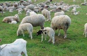 gyvuliukai